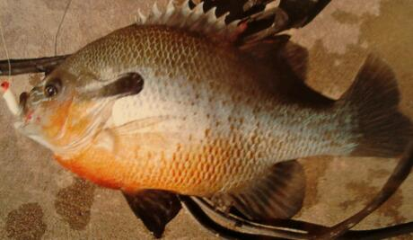 Long ear sunfish
