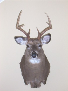 Illinois 8-point w/ bow